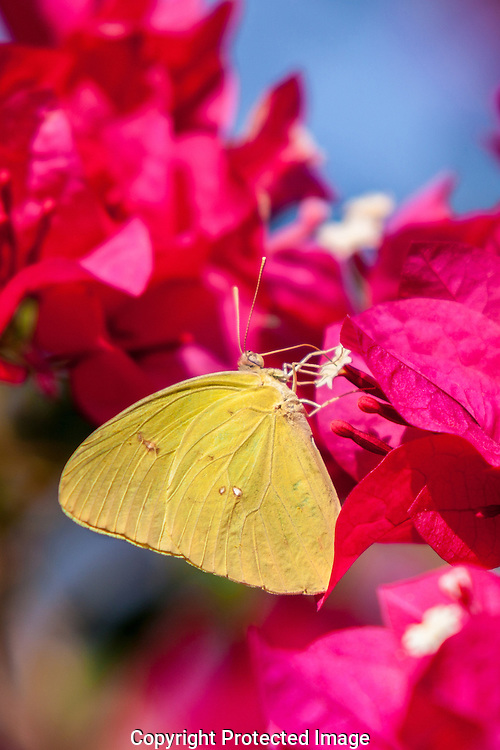 Cloudless Sulpher Butterfly looking for nectar in the small blooms of the Bougainvillea flowers.
