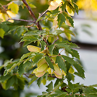 Paperbark Maple  in spring with the typical maple seeds, aslo known as keys or samaras. (Acer griseum).