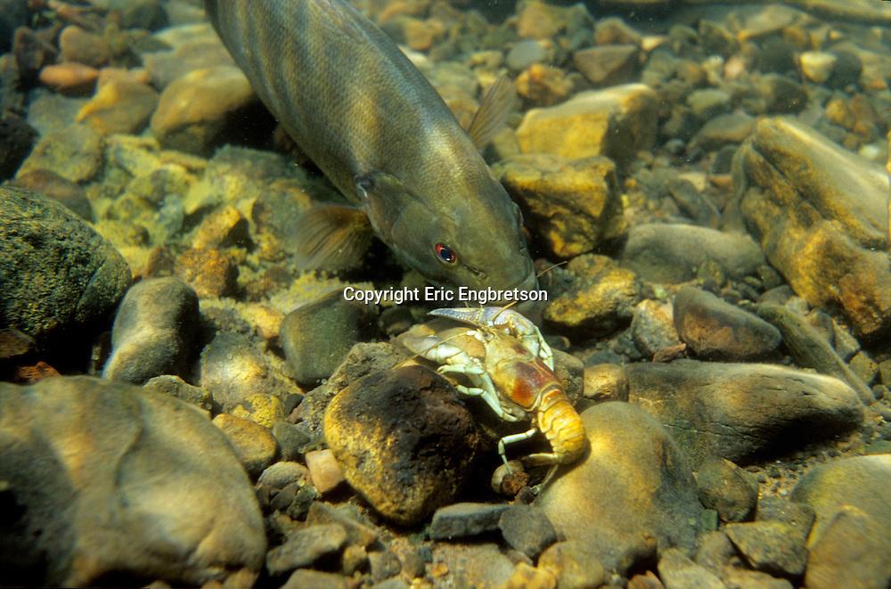 Smallmouth Bass<br /> <br /> ENGBRETSON UNDERWATER PHOTO