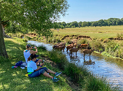 © Licensed to London News Pictures. 23/06/2020. London, UK. Deer cool off in the Beverley Brook in Richmond Park in South West London as forecasters predict a hot week ahead with temperatures expected to reach over 30c. Prime Minister, Boris Johnson announces that tourism and hospitality including pubs, restaurants and campsites can now reopen from the 4th of July as well as reducing the 2 metre rule to 1 metre.  Photo credit: Alex Lentati/LNP