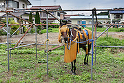Minami-Soma, Fukushima prefecture, July 25 2015 - Horses and samurai getting ready for the race during Nomaoi festival.<br /> The Soma nomaoi is said to be a 1000-year-old traditional festival. It was held in 2011, a few months after the nuclear disaster, but only a few local horses were available.