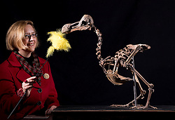 UPDATE: Dodo skeleton sold for £280,000 today © Licensed to London News Pictures. 17/11/2016. Billingshurst, UK. Silke Lohmann dusts a rare dodo skeleton at Summers Place Auctions ahead of it's sale in their 'Evolution' Auction taking place on November 22, 2016.   Photo credit: Peter Macdiarmid/LNP