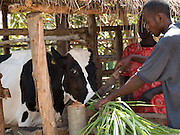 Akia Joyce and her eldest son, James, with the cow she received from Send a Cow. Joyce is a member of Aliast A Jerusalem group, part of Send a Cow, Uganda. The skills she has learnt have transformed her life. Her husband was inspired by her efforts and is now also receiving training too. Together they grow enough food to feed their family a balanced diet, with enough surplus to sell at market. There recent orange tree grafting is turning in to a profitble business.