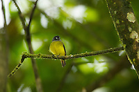 Ornate Flycatcher (Myiotriccus ornatus) perched on a mossy branch.