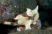 The painted frogfish is similar to the warty frogfish, however, the warts are less pronounced and lacking in juvenile.  A lay and wait ambush predator frogfish will sit for hours at a time waiting for prey to swim past.  Several colour variations are known