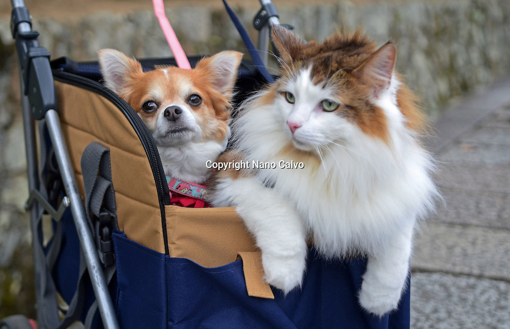 Cat and dog carried together by owner in a baby carriage