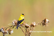 01640-16504 American Goldfinch (Spinus tristis) male eating seeds at thistle plant Marion Co. IL