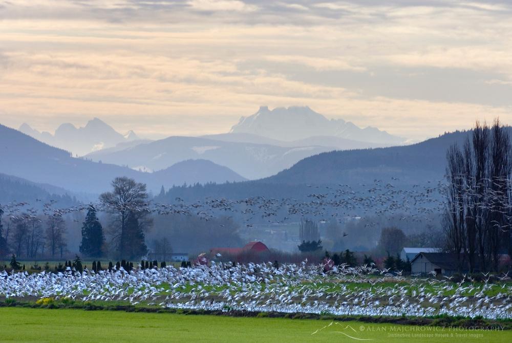 Snow Geese (Chen caerulescens) in the Skagit Valley Washington USA, North Cascades Range in the distance