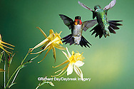 01162-051.13 Ruby-throated Hummingbird (Archilochus colubris) males on Yellow Columbine (Aquilegia chrysantha) Shelby Co.  IL