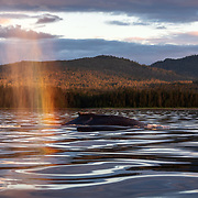 Golden light from the setting summer sun in Alaska producing a warm rainbow of color in the breath of a humpback whale (Megaptera novaeangliae kuzira)