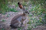 black-tailed jackrabbit (Lepus californicus). high-desert, Central Oregon.