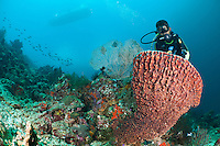 Diver examining a barrel sponge, Menjangan, Bali, Indonesia. Menjangan is protected from the strong currents that sweep between Java and Bali and as a result has clear, warm waters and good reefs - the walls and shallow coral gardens of the island are some of the best in Bali