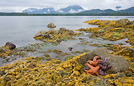 A multitude of colorful and different starfish living in tide pools are exposed at low tide.