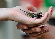 LSU student Brittany Perry cradles a Ruby-throated Hummingbird in her palm to release it after the bird was banded and weighed.