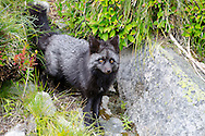 The Cascade Red Fox is a Washington Candidate Species for protection and Natural Heritage Critically Imperiled Species. It is endemic to Washington where it is restricted to the upper mountain forest, subalpine parkland, and alpine meadows of the Cascade Range.
