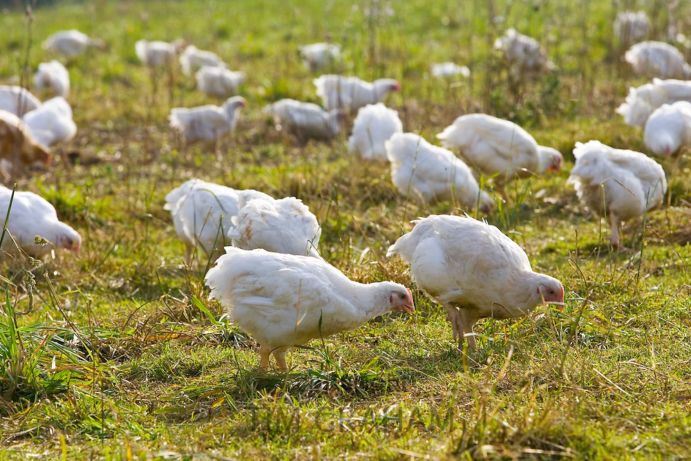 Free-range chickens of breed  Isa 257 roam freely at Sheepdrove Organic Farm , Lambourn, England