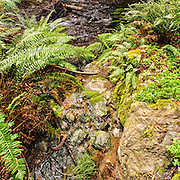 Sword ferns (Polystichum munitum) and redwood sorrel (Oxalis oregano) grow in forest understory alongside a sun-dappled stream with moss covered rocks in Muir Woods National Monument, Mill Valley, California USA , March 2010. Cropped.