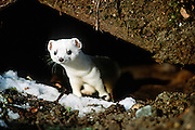 Alaska. Big Lake. Ermine (short-tailed weasel).