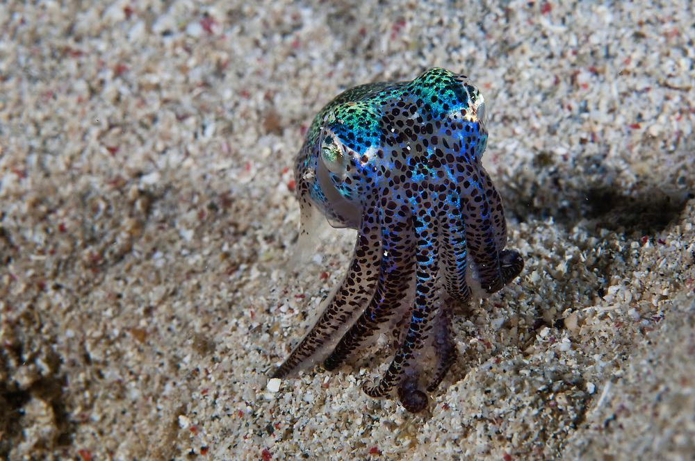 Like all squid, bobtail squid have small sacs of pigment beneath the surface of the skin called chromatophores.  The squid is able to control the size of each of these sacs and so is able to change the colors and markings on its body.  The chromatophores of a bobtail squid and comparatively large and very obvious.  These small squid are active at night, prefering to spend the day buried beneath the sand. The Komodo National Park is home to the unique Komodo Dragon, but also has some remarkable marine life.  Cold upwellings from the Indian Ocean to the south bring plenty of nutrients, providing food for a spectacular array of different species.