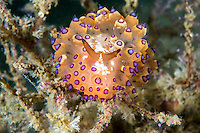 An undescribed Janolus Nudibranch feeds on hydroids<br /> <br /> Shot in Indonesia