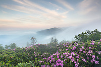 Fog is a common occurrence in the high (relative) elevation Roan Highlands along the state borders of Western North Carolina and Eastern Tennessee.  During the month of June, beautiful pink and magenta Catawba Rhododendron blooms dot the mountainsides.  Access to the highland meadows is by foot:  the Appalachian National Scenic Trail and associated spur trails carry visitors through the Roan Highlands along the ridgelines.