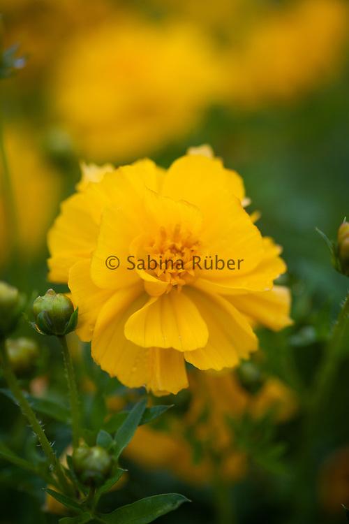 Cosmos sulphureus 'Brightness Gold' - yellow cosmos