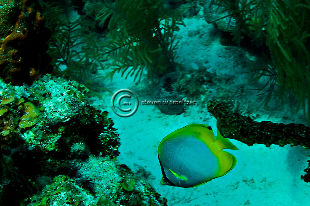 Spotfin Butterflyfish - Chaetodon ocellatus, Grand Cayman