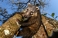 A South American coati or ring-tailed coati (Nasua nasua) is climbing down a tree, Iguazu Falls, Brazil