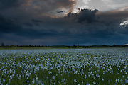 Storm clouds at dusk move across Weippe Prairie over a field of camas flowers (Camassia quamash), Idaho. On September 20, 1805 the first members of Lewis and Clark's Corps of Discovery, including Clark himself, emerged starving and weak onto the Weippe Prairie. There they encountered the Nez Perce, who were attracted to the area by the abundant hunting, as well as the fields of camas flowers, whose roots were a staple of their diet.