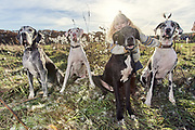 Four Great Danes and their girl in the field
