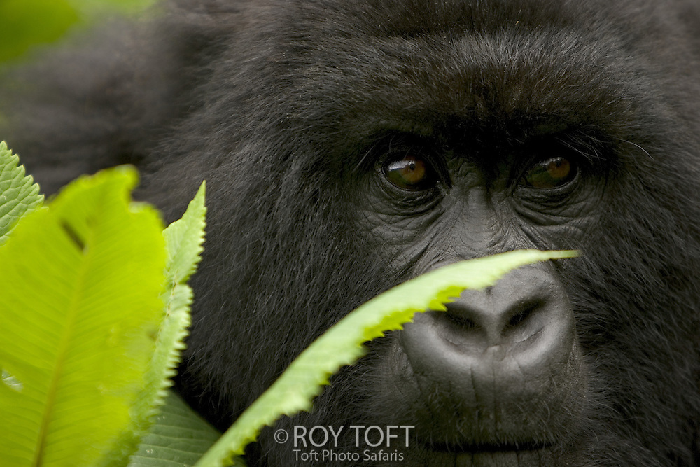 Mountain gorilla (Gorilla gorilla beringei)behind green leaves.