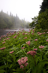 The Connecticut River in Clarksville, New Hampshire.  Joe-pye weed.