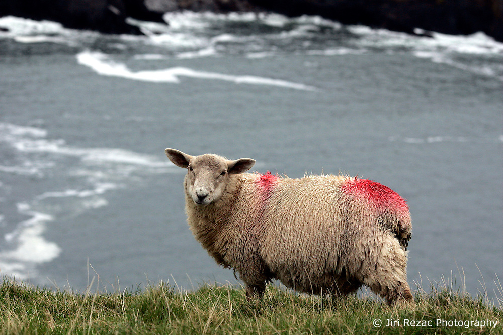 IRELAND KERRY IVERAGH PENINSULA 4NOV05 - Sheep marked with a red dot on their furs on Valentia Island on the Iveragh Peninsula in county Kerry, Irelands most westerly county...jre/Photo by Jiri Rezac..© Jiri Rezac 2005..Contact: +44 (0) 7050 110 417.Mobile: +44 (0) 7801 337 683.Office: +44 (0) 20 8968 9635..Email: jiri@jirirezac.com.Web: www.jirirezac.com..© All images Jiri Rezac 2005 - All rights reserved.