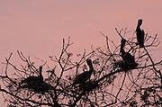 Brown Pelicans (Pelecanus occidentalis carolinensis) resting in tree branches at dusk. Pacheca Island, Las Perlas Archipelago, Panama, Central America.