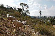 SHEEP ON A RURAL FIELD.