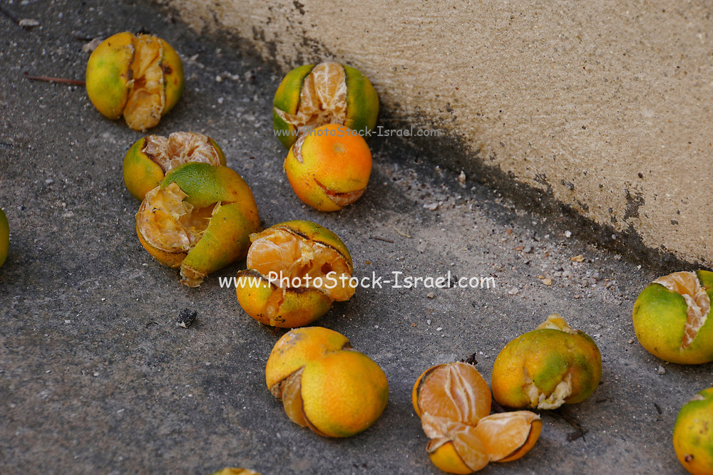 Rotting tangerines on the ground under a tree
