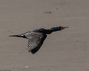 A Double-Crested Cormorant flying low over the sands of Swans Cove in Chincoteague National Wildlife Refuge