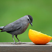 A Gray Catbird, Dumetella carolinensis, preparing to eat an orange. Passaic, New Jersey, USA, North America
