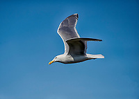 Western Gull (Larus occidentalis) in flight, Chemainus , British Columbia, Canada