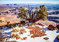 An old Juniper tree on the edge of a giant canyon, Canyonlands national Park, Island in the Sky, Utah, USA. Blue mountains or Abajo Mountains appear in the distance.