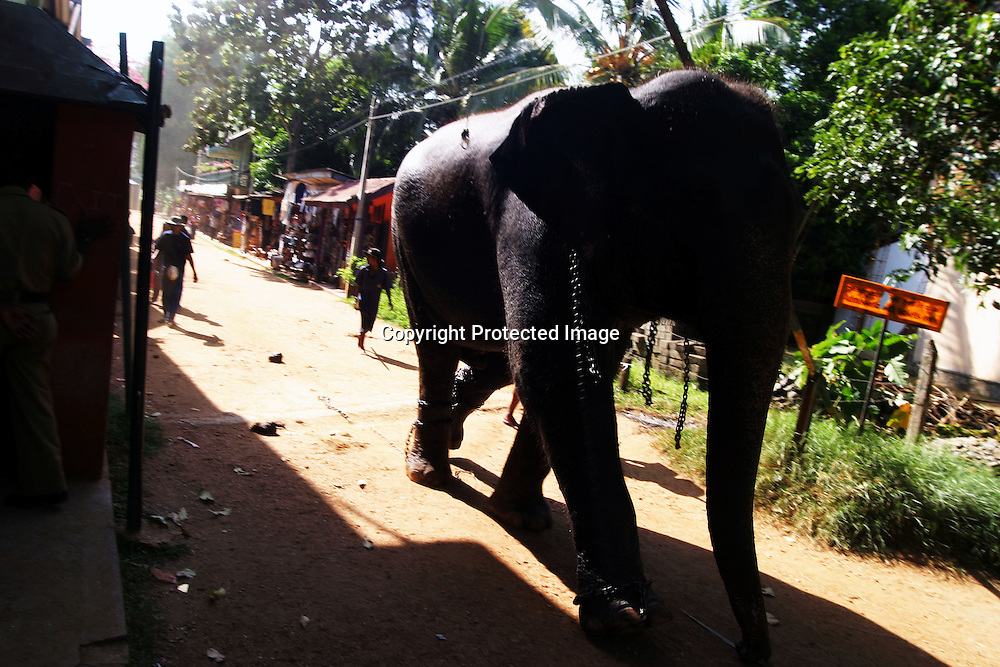 "PINNAWELA, OCTOBER-3 : a giant elephants walks back to the orphanage while followed by his two mahouts in Pinnawala, October 3, 2005, Sri Lanka. The 35 mahouts of the Pinnawala orphanage are in charge of 75 elephants which is a heavy task. it takes about 6 months training to learn the ""elephant language"" and years of expirience too become a good elephant keeper. Mahouts are well paid and therefore there's no shortage of applicants .PINNAWELA, OCTOBER-3 : an elephant greets a visitor   in Pinnawela, October 3, 2005, Sri Lanka.   .The Pinnawela orphanage was started in 1975 and initially designed to afford care and protection to the many baby elephants found in the jungle without their mothers. In most cases the mother either had died or been killed. .Animals are allowed to roam freely duringthe day and a herd structure allows to form. there are only a few elephant orphanges worldwide. At Pinnawela an attempt was made to simulate, in a limited way, the conditions in the wild. Currently the herd consists of 75 elephants under the surveillance of legendary  Mahout chief Sumanabanda."