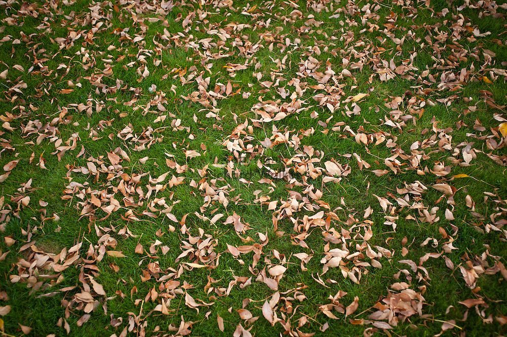 2016 September 29 - Fallen leaves on green grass in the Fall season of Autumn. Puyallup, WA, USA. By Richard Walker