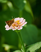 Peck's Skipper Butterfly (?) on a Zinnia Flower. Image taken with a Nikon 1 V3 camera and 70-300 VR lens