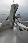 Hugh Tiger shark caught off coast of Miami<br />