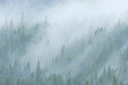 Trees in the mist (fog), NAncy Green Provincial Park, British Columbia, Canada