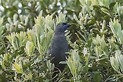 Although first given legal protection in 1896, there are now only 1,400 kokako left in New Zealand.  The orange-wattled South Island subspecies is now thought to be extinct, although some people continue to search for them.