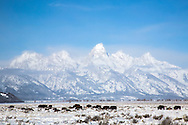Bison roaming free on a sub-zero winter morning under the Grand Tetons and a beautiful blue sky