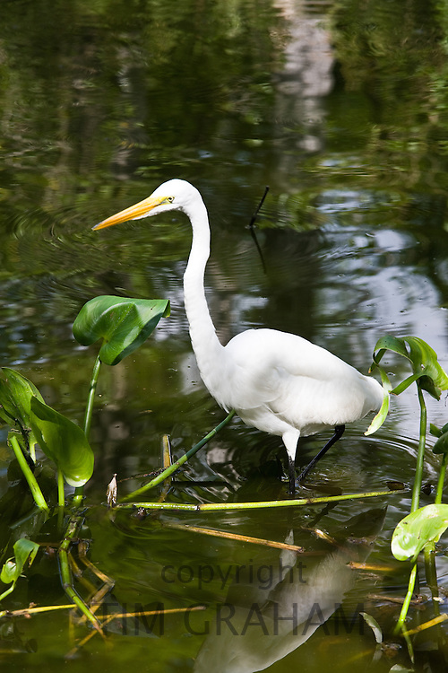 Great White Egret in glade, Florida Everglades, United States of America
