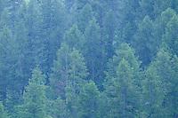 heavy rainfall; European larch tree, Larix decidua, Malbun, Liechtenstein
