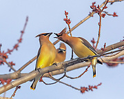 A male Cedar waxwing offers an insect to a prospective mate, while another male watches intently from the background. Each spring, waxwings repeat this ritual from this maple tree in Hudson, Wisconsin, USA.
